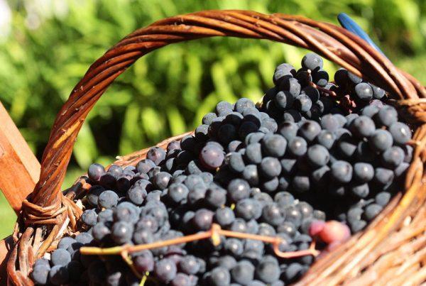 As uvas do quintal de casa